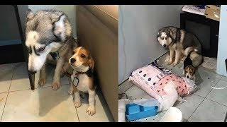 Best Funny Guilty Dogs Compilation New 2017