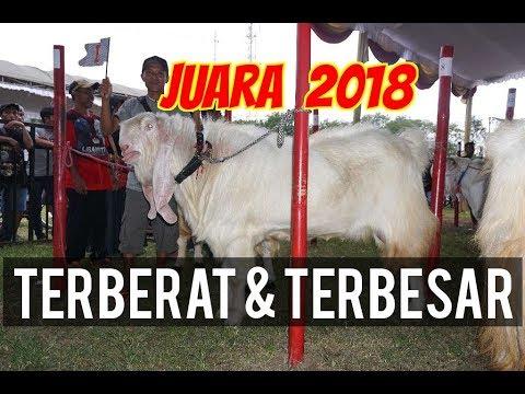 Kambing Etawa Super Juara 1 Kontes 2018