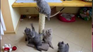 Британские котята 7 недель. Минск, Бобруйск, Беларусь
