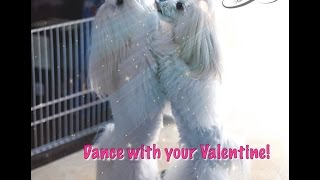 Independent Glamour Girls ~ Maltese Dogs Dancing ! to Korean Pop Music by Miss A