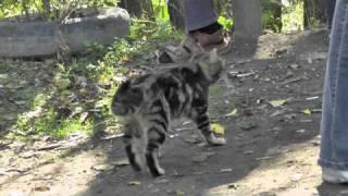 Кот леопардового окраса