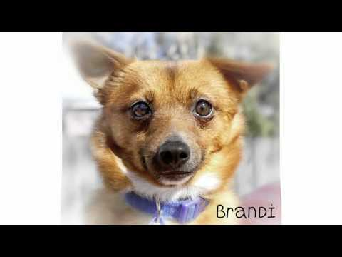 Brandi, Pomeranian x Tenterfield Terrier has been adopted from Dog Rescue Newcastle