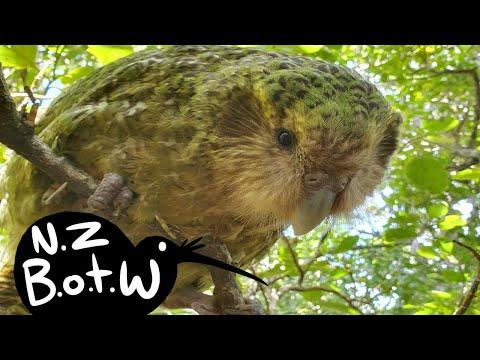 Kakapo - New Zealand Bird Of The Week