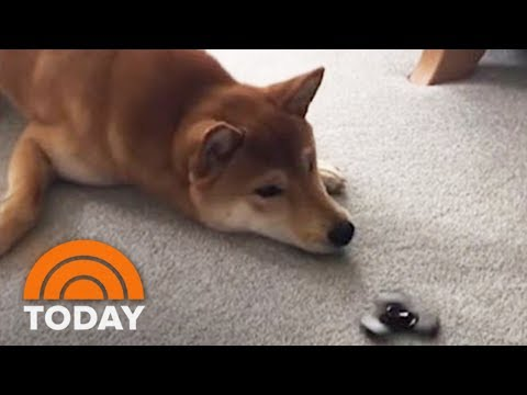 Dog Can't Handle The Fidget Spinner Toy Craze | TODAY