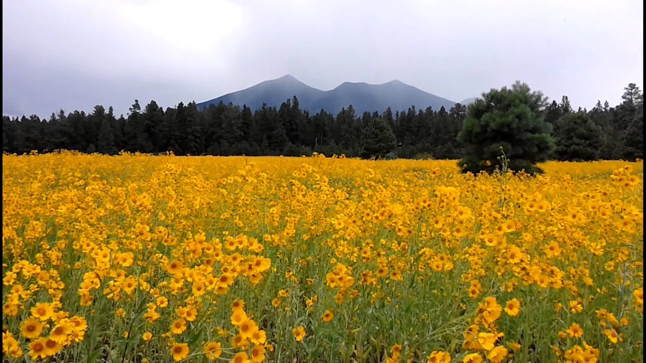 Yellow Flowers In Flagstaff Youtube