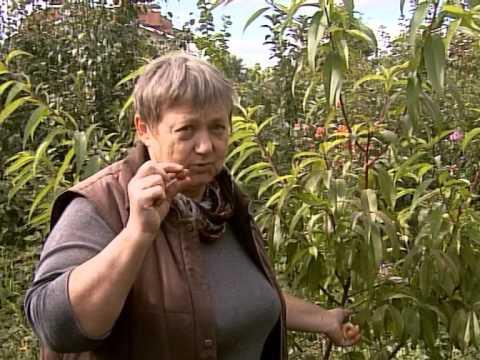 Как из косточки абрикоса вырастить плодоносящее дерево