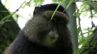 Gambar cover The Golden Monkeys