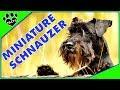 Dogs 101: Miniature Schnauzer Most Popular Dog Breeds Re-Edit - Animal Facts