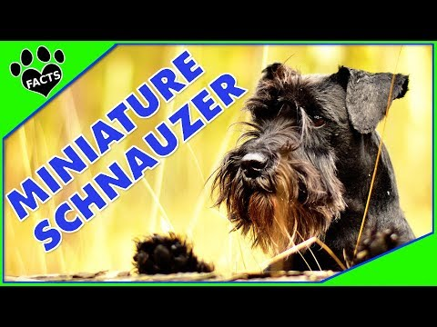 Dogs 101: Miniature Schnauzer Most Popular Dog Breeds Re-Edit - Animal Facts