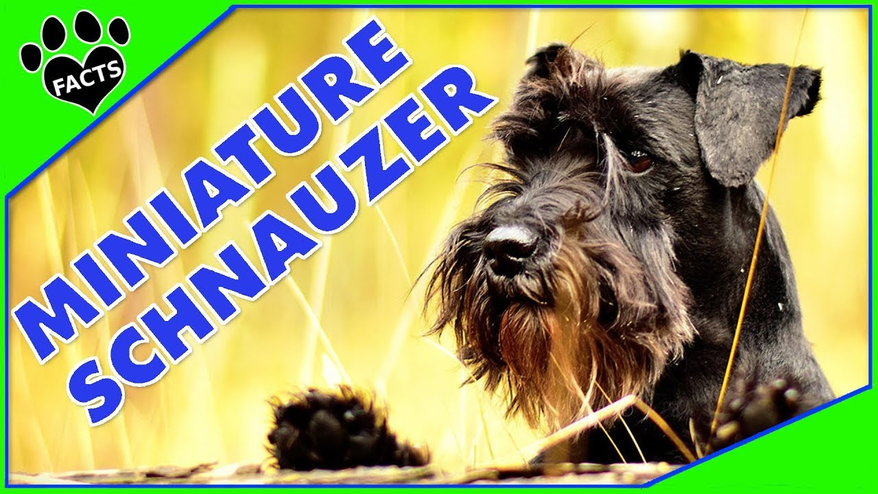 32b848a95c93 Dogs 101: Miniature Schnauzer Most Popular Dog Breeds Re-Edit - Animal Facts