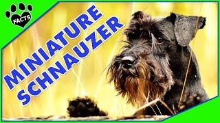 Miniature Schnauzer Dogs 101 Most Popular Dog Breeds Re-Edit