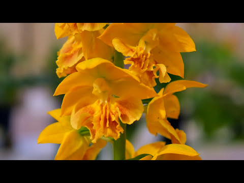 Japanese orchid plant show - Dendrobium, Calanthe, and assorted species
