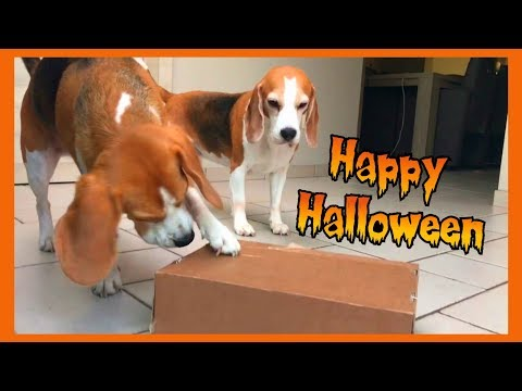 Dogs Unboxing Halloween Surprise : Funny Beagles Louie and Marie