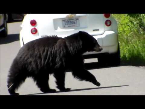 Black bear walks up to our car in Yellowstone National Park