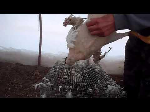 Как почистить гуся в домашних условиях