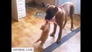 """В мире животных: отважный котенок - """"Отдай мясо щенок!"""" Ржач до слез!"""