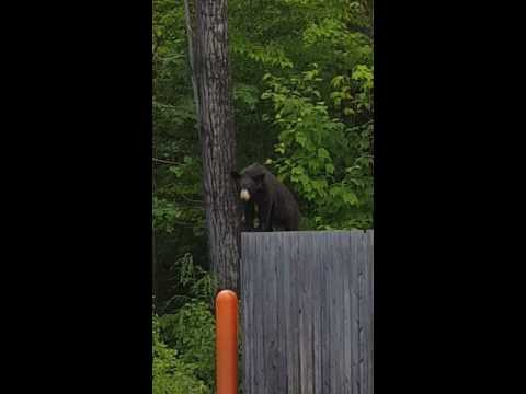 BLACK BEAR, NORTH CONWAY, NH
