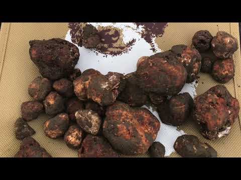 Idaho truffle industry