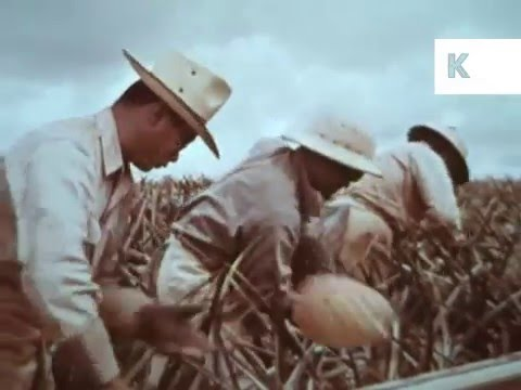 1950s Hawaii Farming, Technology, Sugar Cane, Pineapples