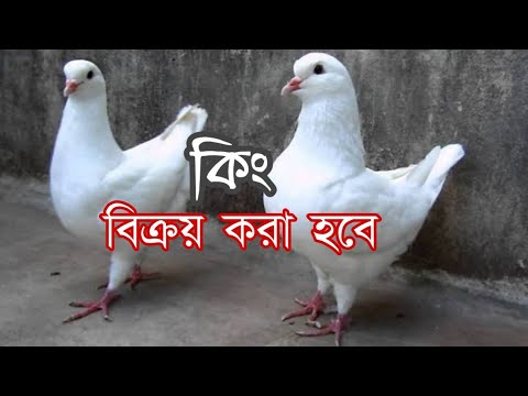 King Pigeon Price In BD | Teach Al-amin