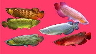 Video Top 10 Arowana fish download MP3, 3GP, MP4, WEBM, AVI, FLV September 2018