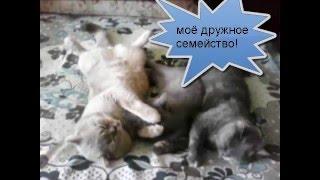 Plush kiss - питомник британских кошек г.Сумы.