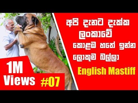 අපි දැනට දැක්ක ලංකාවේ කොළඹ හතේ ඉන්න ලොකුම බල්ලා | English Mastiff | Pet Talk