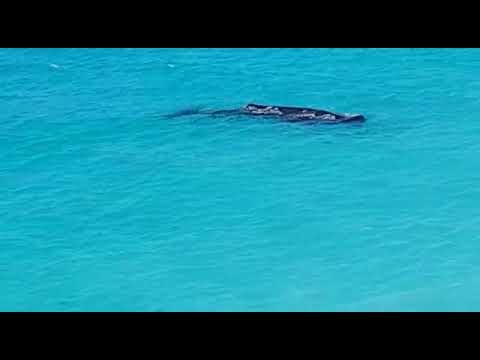 Whale found in antigua and barbuda. Darkwood beach