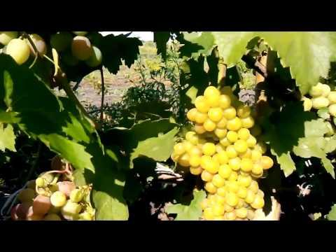 Сорт виноград  а       ГУрман