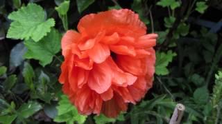 Meet Orange Poppy