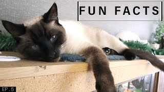 Fun Facts about Siamese Cats