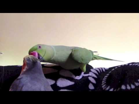 Talking Parrot:  You're a naughty naughty parrot