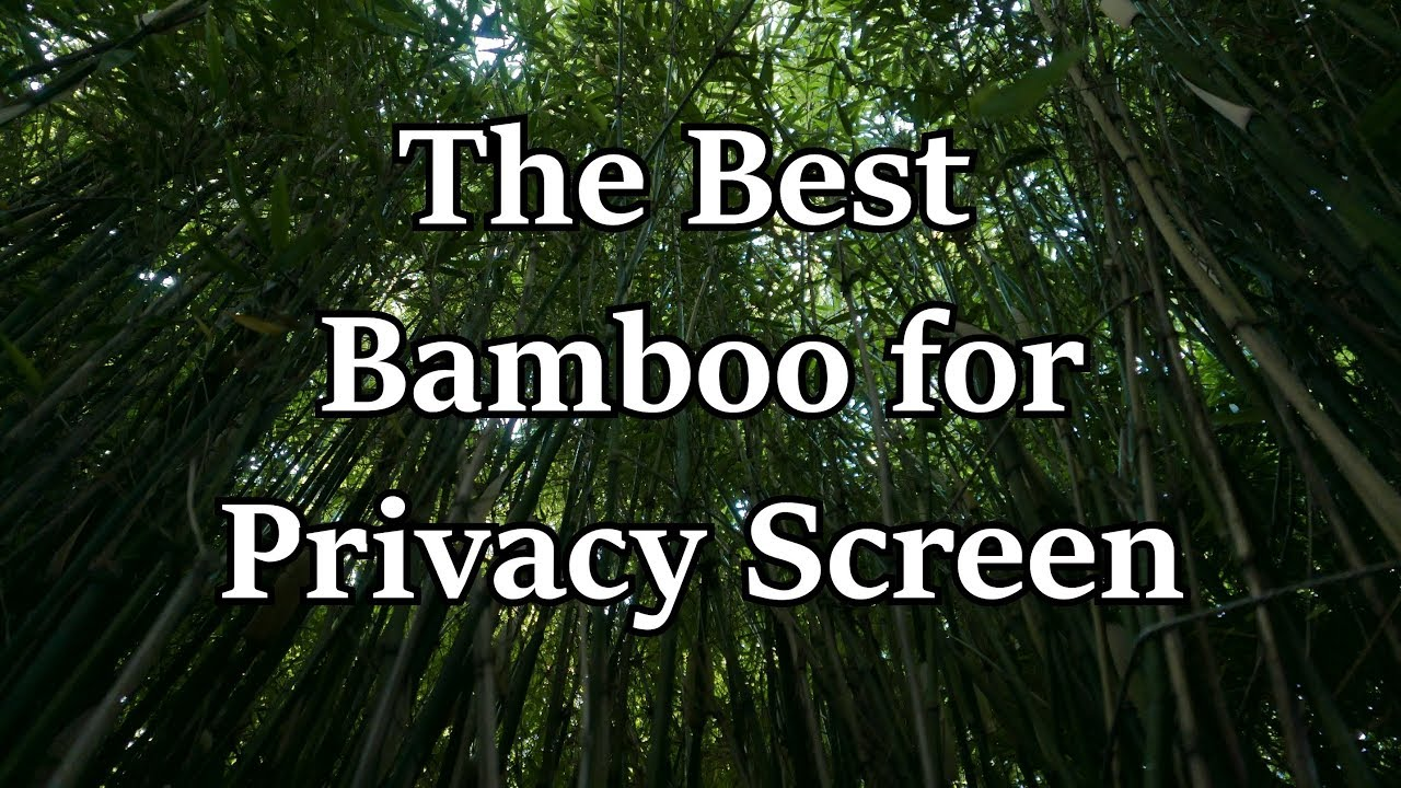 Introduction To The Best Bamboo For A Privacy Screen Youtube