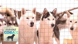 Сибирский хаски. Планета собак 🌏 Моя Планета