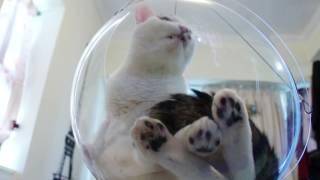 透明なボウルを猫のイスにすると…このかわいさは何なの!(動画)
