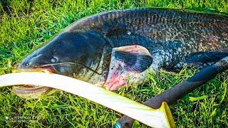 Сом Ловля сома Квок квок на сома Рыбалка 2021 Рыбалка видео Catfish