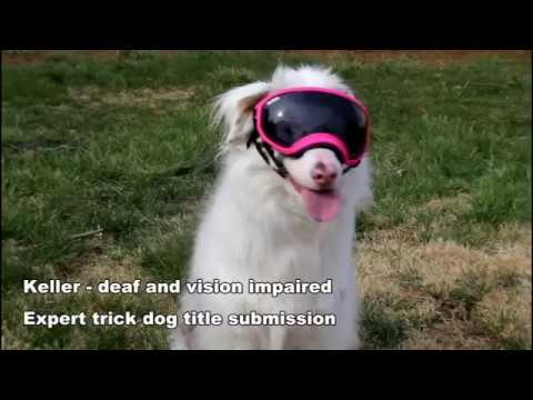 Keller (deaf and vision impaired): Expert Trick Dog Title Submission