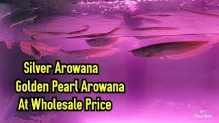 Silver Arowana And Golden Pearl Arowana For Sale At Wholesale Price | ARK AQUATICS PASCHIM VIHAR