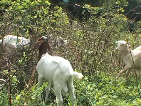 Goats for Rent