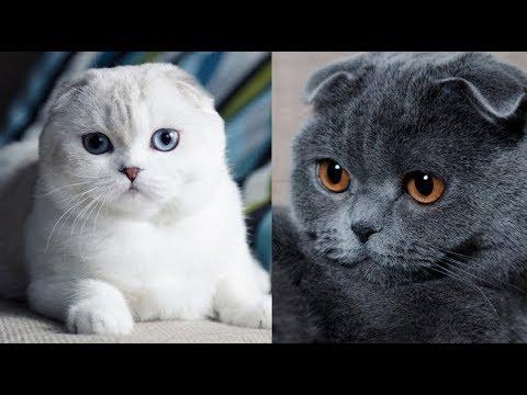 Мои шотландские кошки ( + много фото).