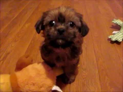 Meet Loveable Mac,the BEST shorkie puppies for sale at www.shorkieworld.com