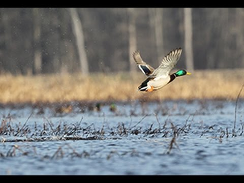 Arkansas Wildlife S1.E7, The History of Arkansas Duck Hunting and Jacob Ayecock Record Deer