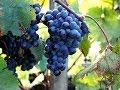 Поделки - Саженцы из саженцев. Эксперимент: укоренение черенков - спичек. Виноград центр / the grapes center