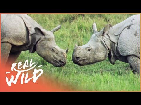 Armour Plated Rhino [Rhino Documentary] | Real Wild