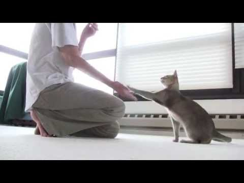 "Cat ""clicker"" training with KC (singapura cat)"