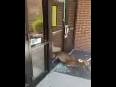 Deer runs through glass door at elementary school, Sept. 22, Elizabeth City, NC