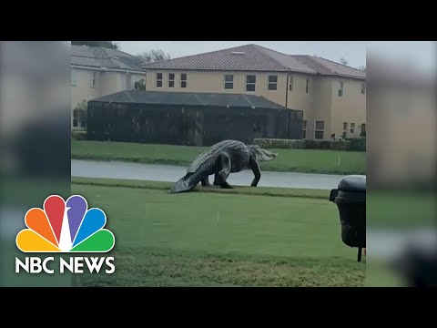 Check-Ya-Later-Gator-Massive-Alligator-Strolls-On-Golf-Course-NBC-News-NOW