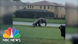 Check Ya' Later 'Gator: Massive Alligator Strolls On Golf Course | NBC News NOW