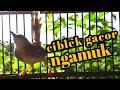 Ciblek Gacor Ngamuk Cocok Untuk Pancingan Ciblek Agar Cepat Bunyi  Mp3 - Mp4 Download