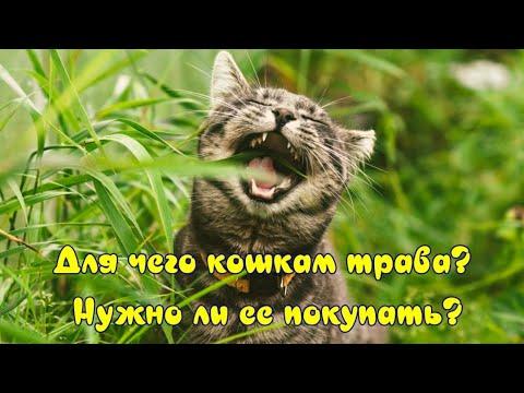 Для чего кошкам трава и нужно ли ее покупать Why do cats need grass and whether to buy it